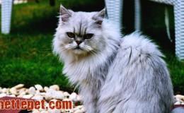 Chinchilla Kedi Irkı Özellikleri ve Bakımı