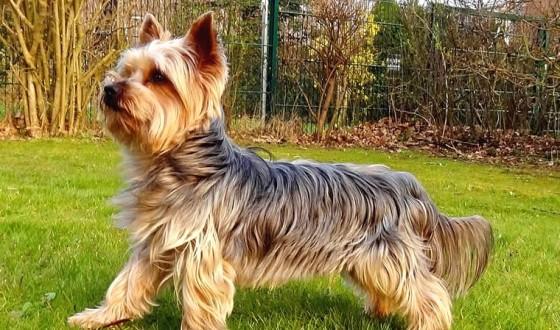Yorkshire Terrier Özellikleri ve Bakımı