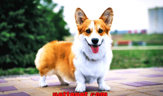 Welsh Corgi Köpeği Özellikleri Ve Bakımı