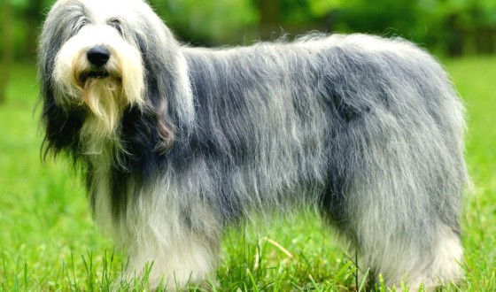 İngiliz Çoban Köpeği Özellikleri ve Bakımı
