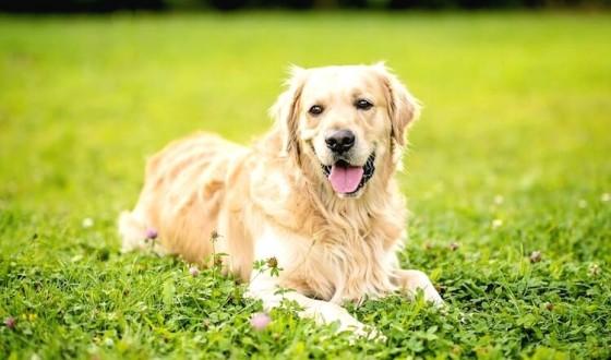 Labrador Retriever Özellikleri ve Bakımı