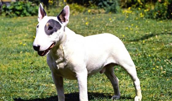 Bull Terrier Köpeğinin Özellikleri, Tarihçesi ve Bakımı