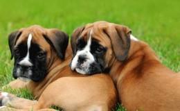 Boxer Köpeğinin Özellikleri, Bakımı ve Tarihçesi