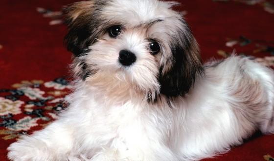 Havanese Köpeğinin Özellikleri, Bakımı ve Tarihçesi
