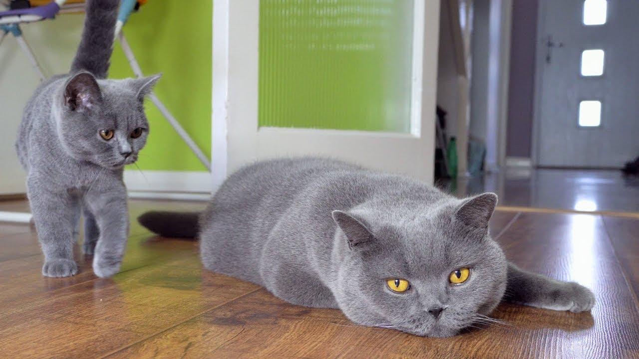British Shorthair Kedi Irkının Karakteri