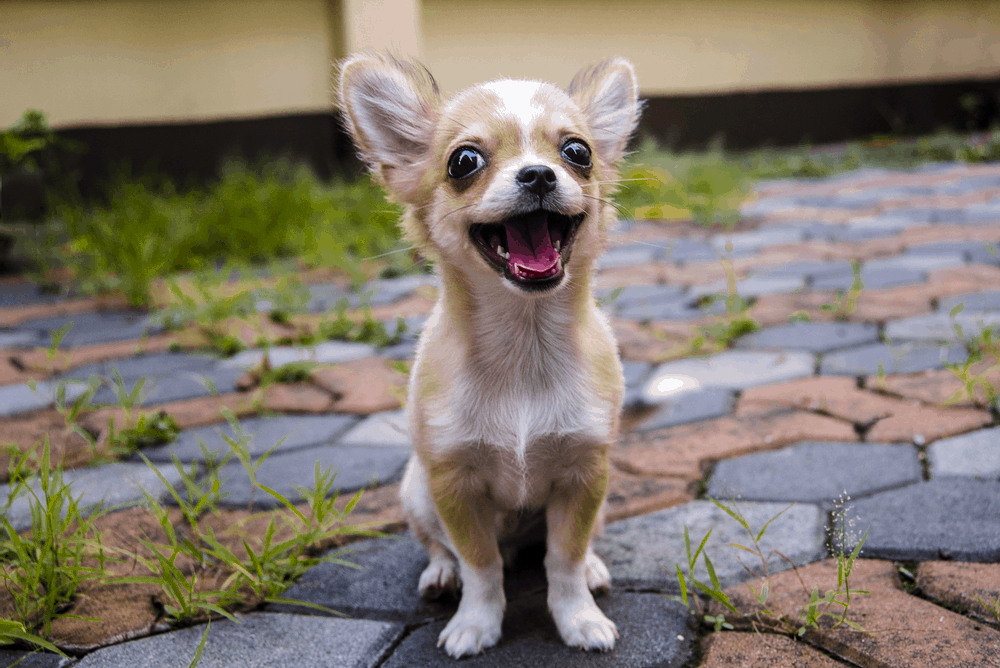 Chihuahua Köpek Irkının Tarihçesi