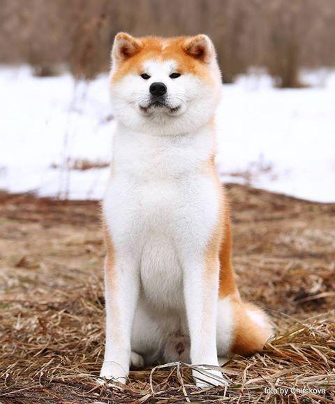 Akita inu köpek ırkının Fiziksel özellikleri