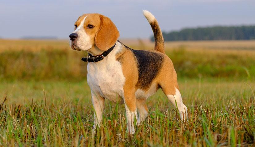 Beagle Köpeğinin Özellikleri - beagle köpeği sahiplen