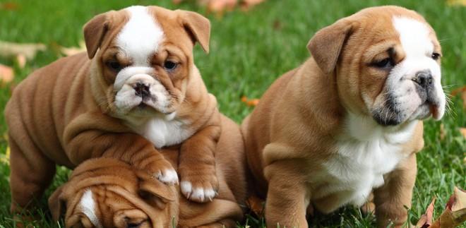 Bulldog Köpek Irkının Tarihçesi