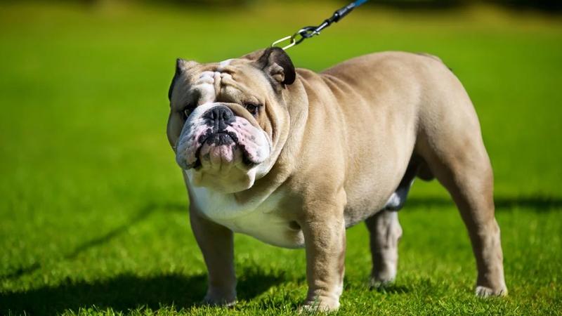 Bulldog Köpek Irkının Karakteri