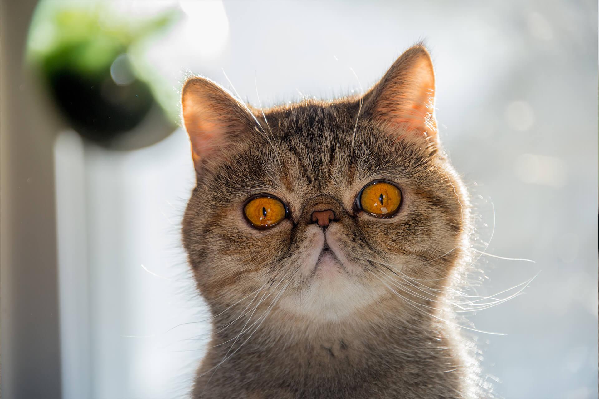 Exotic Shorthair Kedi Irkı Özellikleri