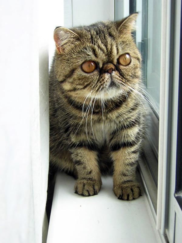 Exotic Shorthair Kedi Irkının Tarihçesi