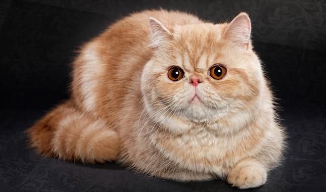 Exotic Shorthair kedi ırkının bakımı