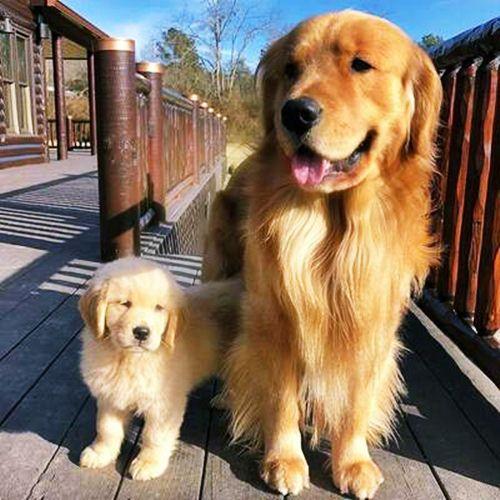 Golden Retriever Köpek Irkının Özellikleri