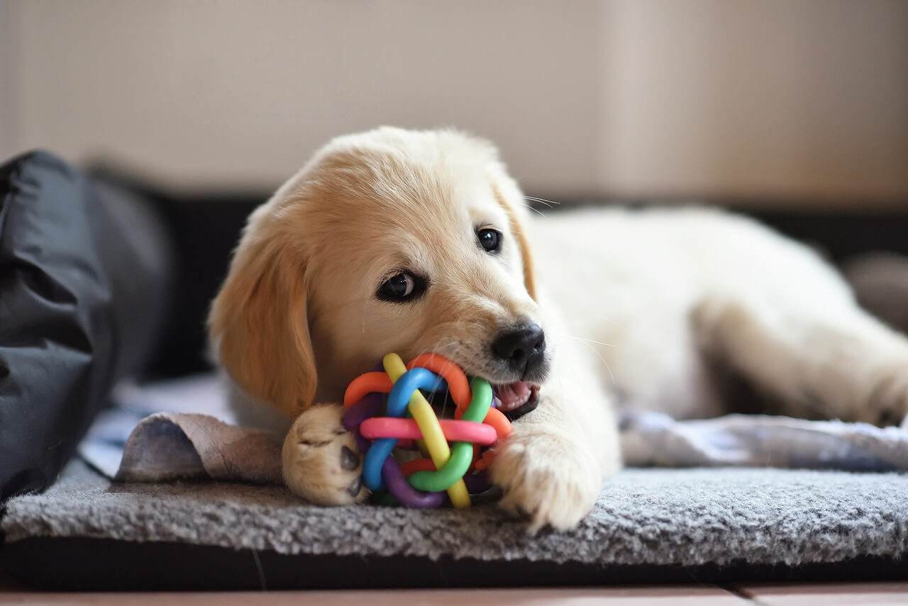 Golden Retriever Köpek Irkının Karakteri