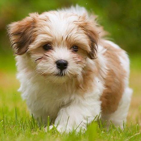 Havanese Köpeğinin Fiziksel Özellikleri