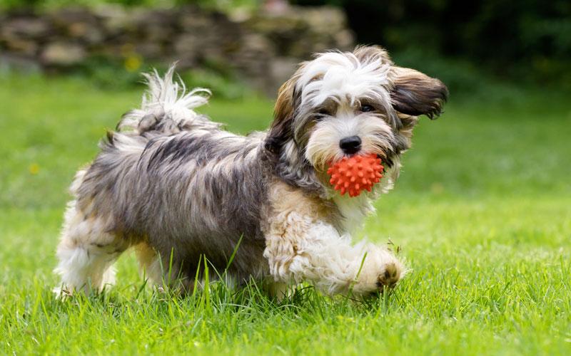 Havanese Köpeğinin Sağlık Durumu