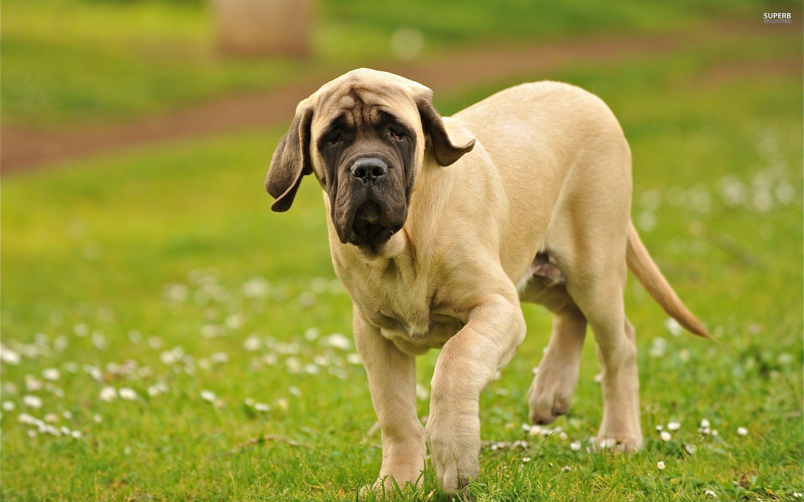 İngiliz Mastif Köpek Irkının Fiziksel Özellikleri