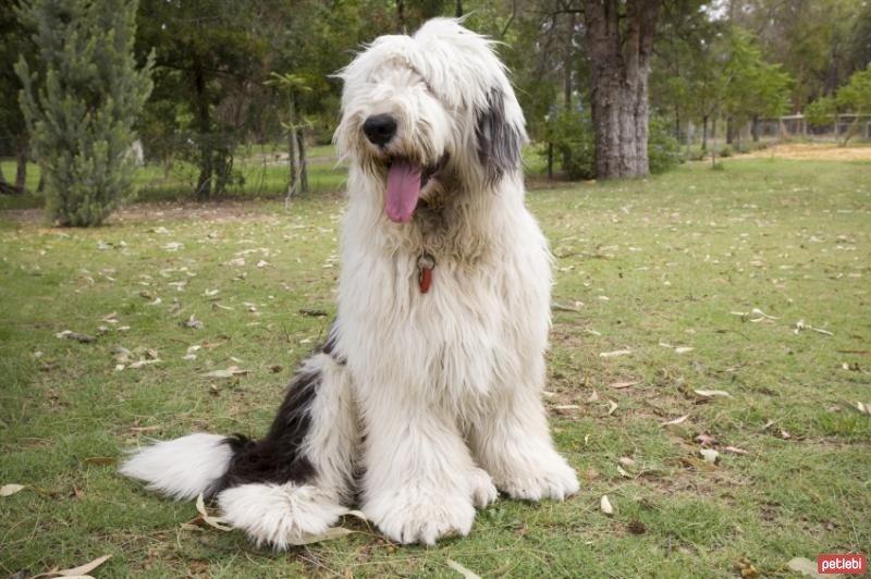 İngiliz çoban köpeğinin fiziksel özellikleri