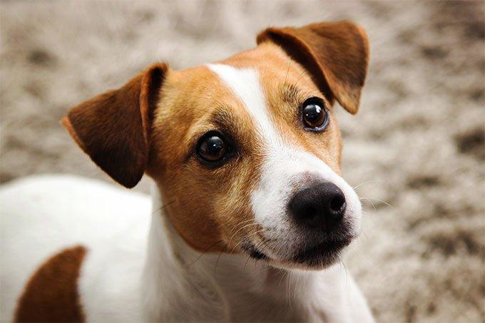 Jack Russel Terrier Köpeğinin Karakteri