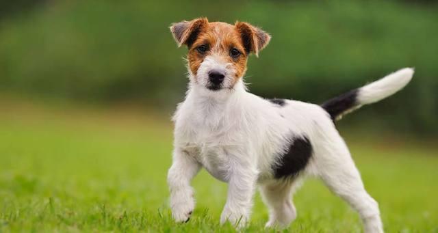 Jack Russel Terrier Köpeğinin Fiziksel Özellikleri