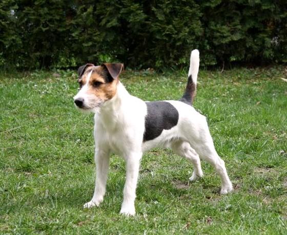 Jack Russel Terrier Köpeğinin Tarihçesi ve Kökeni