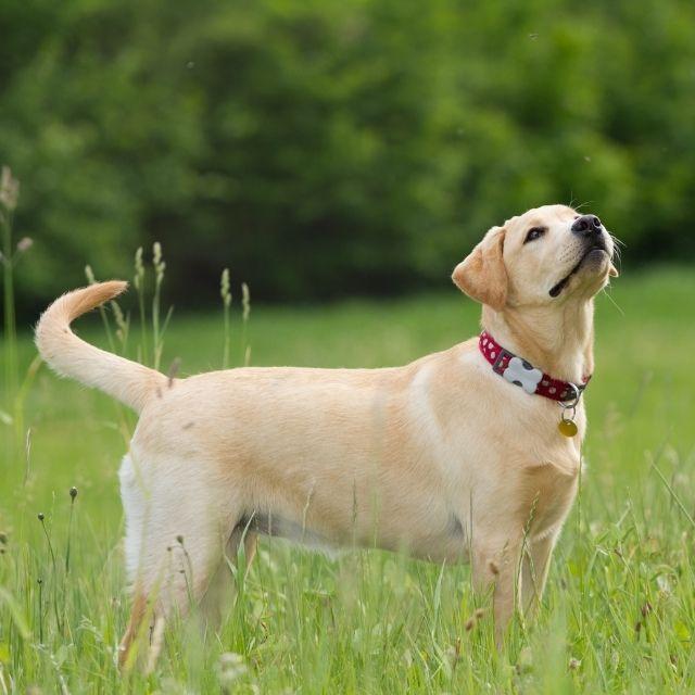 Labrador köpeği
