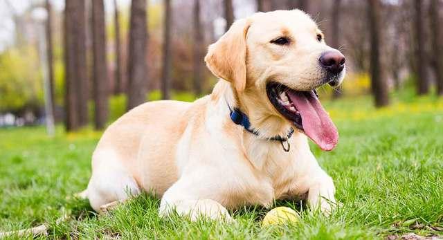 labrador köpeği özellikleri