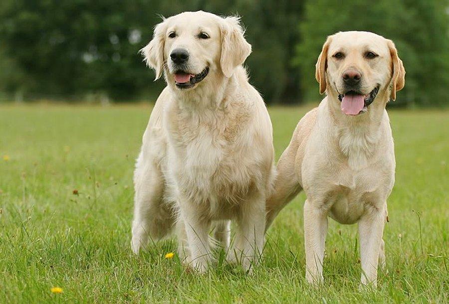 Labrador köpeği bakımı ve tarihçesi