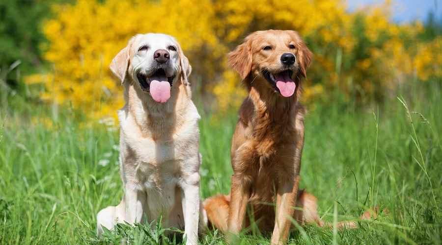 labrador köpeği bakımı