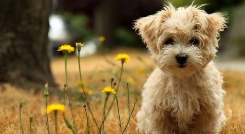 Morkie Köpeğinin Bakımı ve beslenmesi