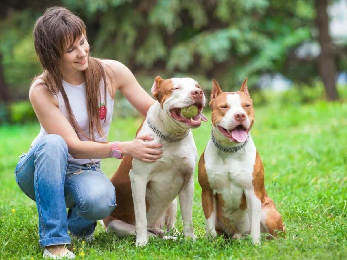 Pitbull Köpeğinin Özellikleri