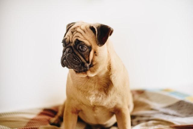 Pug köpek ırkının tarihçesi