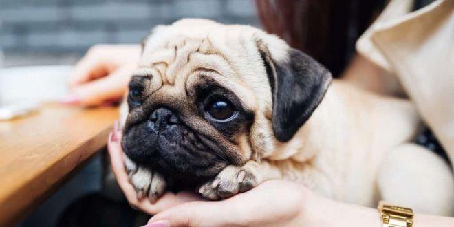 Pug köpek ırkının karakter özellikleri