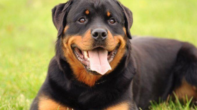 Rottweiler Köpek Irkının Karakter özellikleri