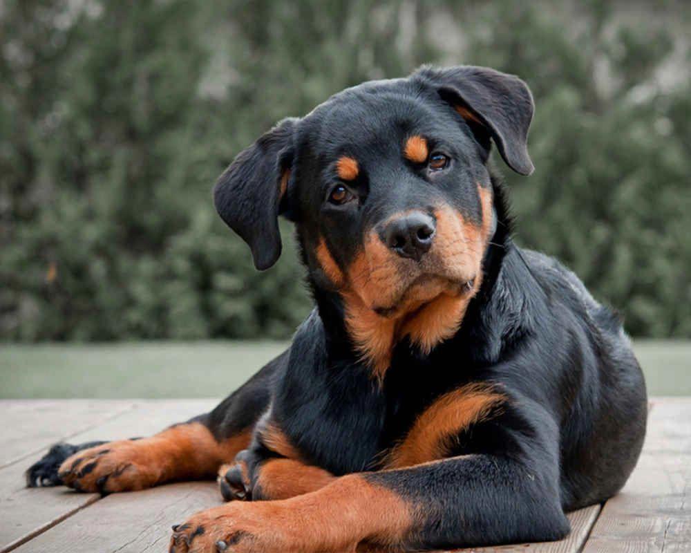 Rottweiler Köpek Irkının Bakımı