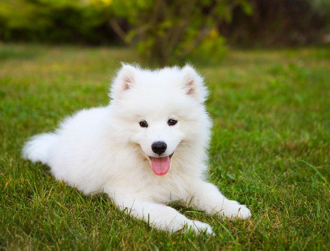 Samoyed Köpeğinin Özellikleri
