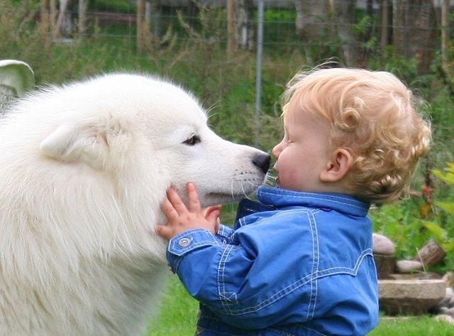 Samoyed Köpek Irkının sağlık durumu