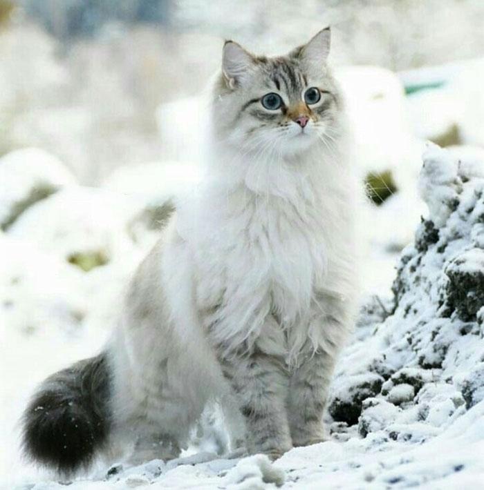 Sibirya Kedisi sahiplen,sibirya kedisi özellikleri