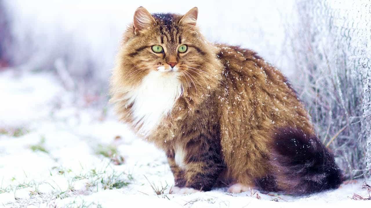 Sibirya Kedisinin Fiziksel Özellikleri