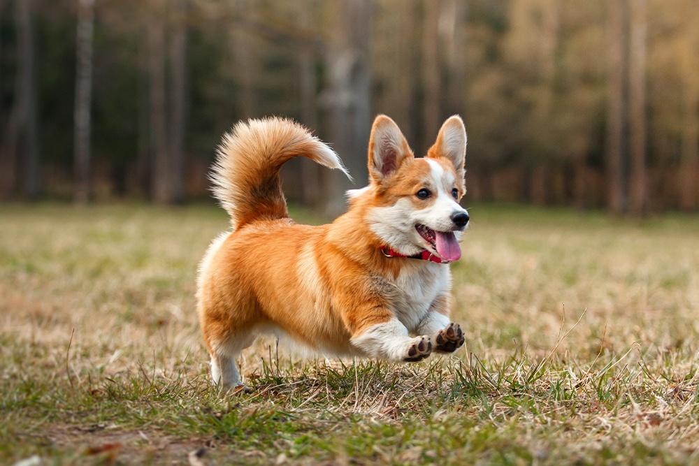 Welsh Corgi Köpeğinin Karakteri